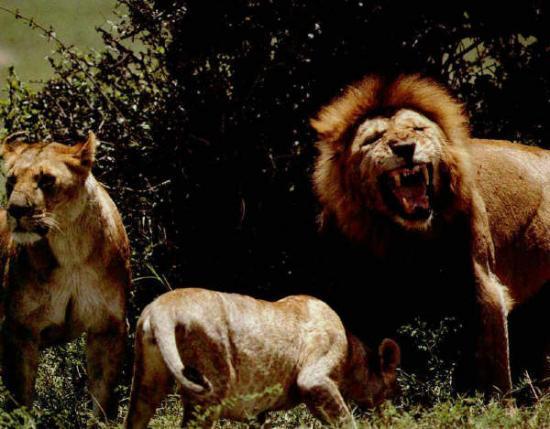 Lion, lionnes1
