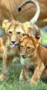 Lionceaux1