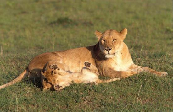 Lionne et lionceau couché ensemble