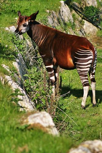 Okapi debout dans l'herbe
