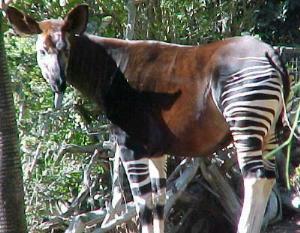 Okapi tête tournée