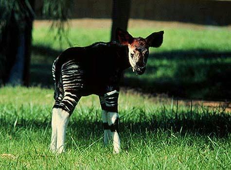 Jeune okapi