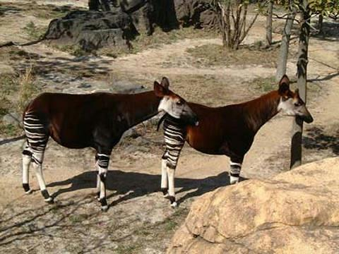 Deux Okapis