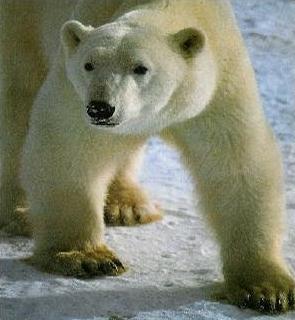 Ours blanc en marche sur la banquise