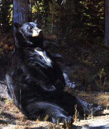 Ours noir américain assit contre un arbre