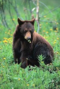 Ours noir américain3