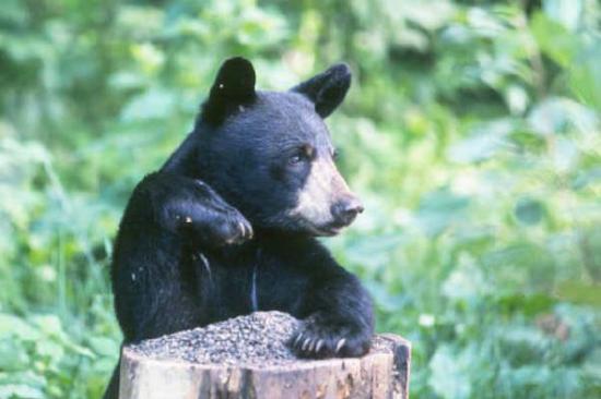 Ours noir américain4