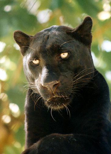 Panthère noire1