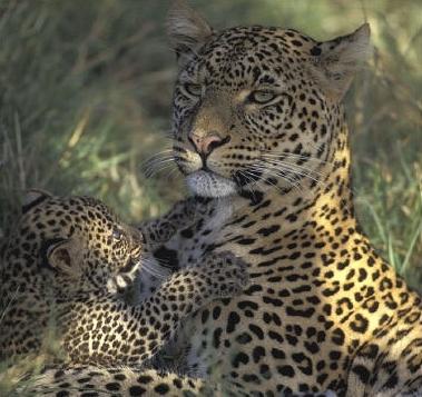 Panthère femelle et son petit