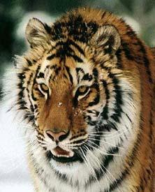 Tigre Sibérie1