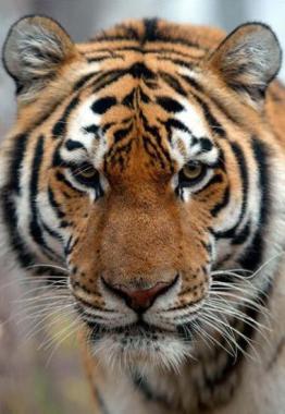 Tigre de Sibérie1