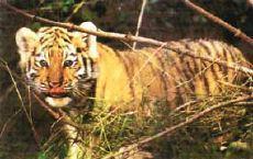 Tigre de Sibérie3