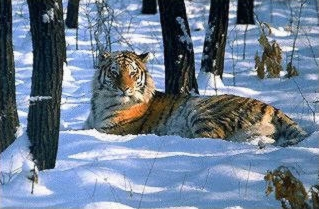 Tigre de Sibérie7