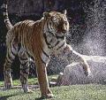 Tigre de sibérie2
