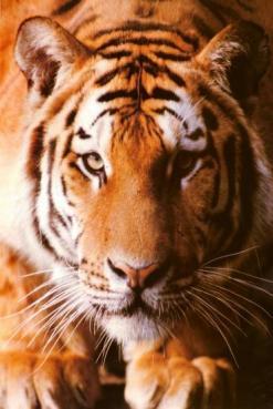 Tigre1
