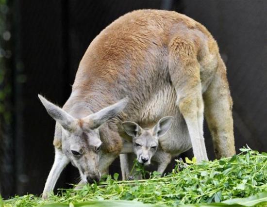 Kangourou roux et son petit2