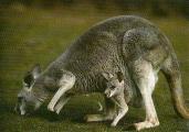 Kangourou roux femelle et son petit, broute