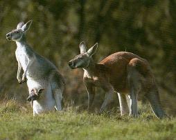 Couple de kangourou roux et leur petit