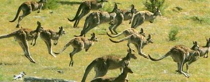 Kangourous roux, harde