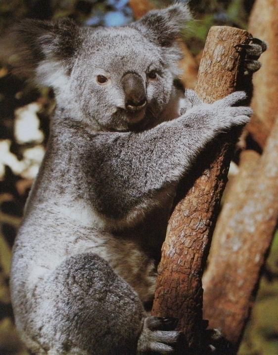 Koala accroché à la verticale à une branche.