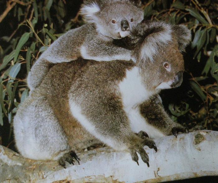 Femelle koala portant son petit sur le dos. Perché sur une branche.