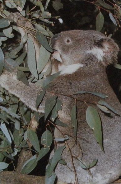 Koala mangeant de l'eucalyptus dans un arbre.