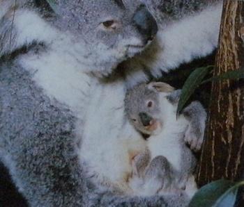 Femelle koala avec son petit blottit contre elle.