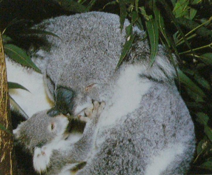 Femelle koala et son petit en séance de câlin.