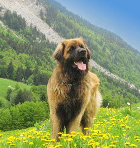 Léonberg au milieu de fleurs, montagne