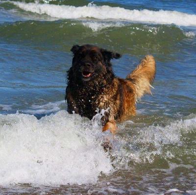 Léonberg qui cours dans l'eau