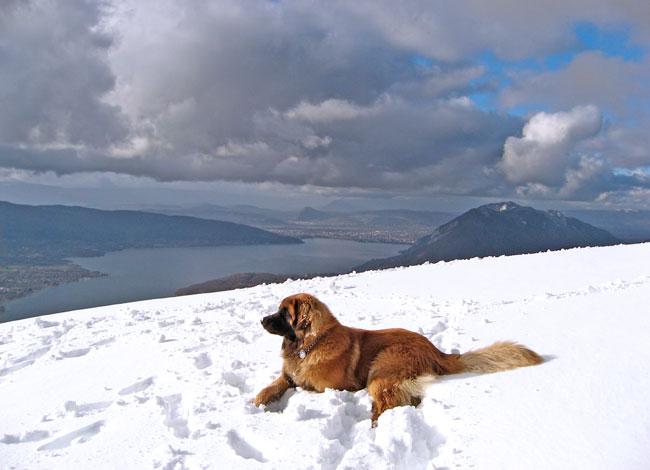 Léonberg couché dans la neige