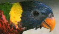 Jeune loriquet à tête bleue