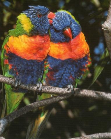 Couple de loriquet à tête bleue