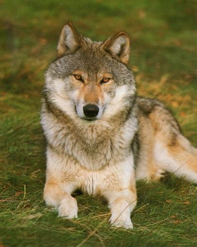 Loup gris1