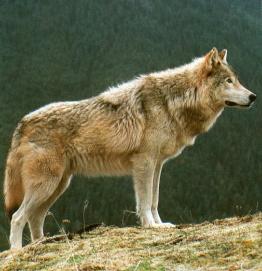 Loup gris debout sur colline