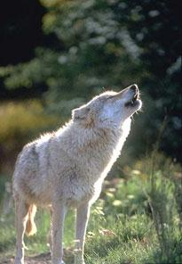 Loup gris hurlant
