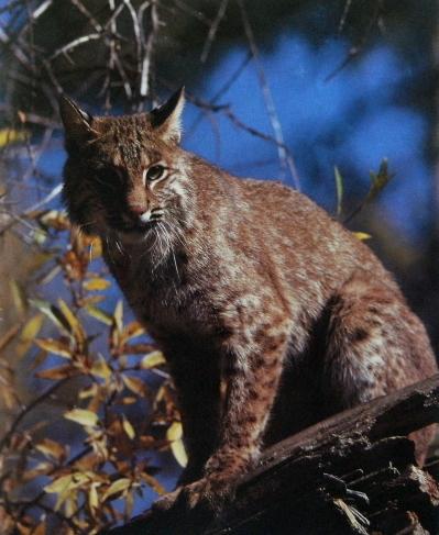Lynx roux assis sur tronc