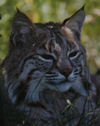Lynx roux2