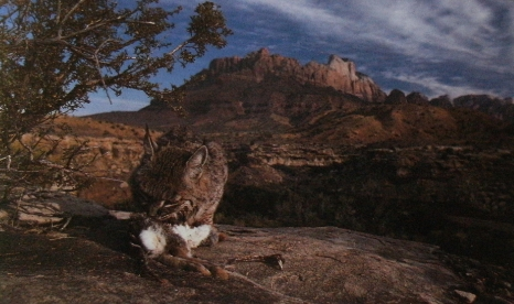 Lynx roux qui mange une proie