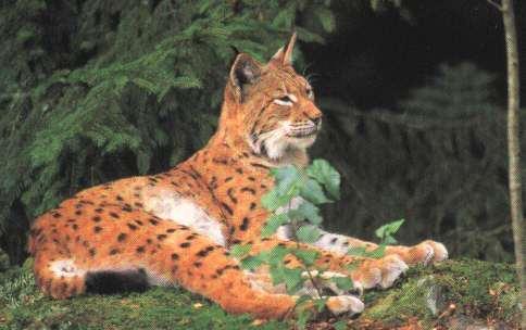 Lynx roux couché en forêt sur mousse, près de sapins