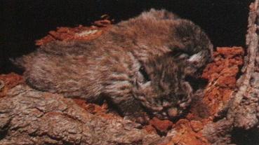 Bébés lynx roux dans une cavité