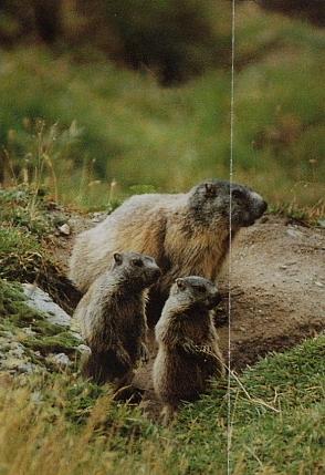 Marmotte des Alpes3