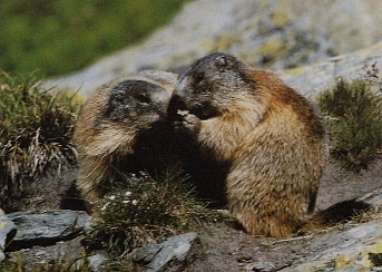Deux marmottes des Alpes entrain de renifler une plante