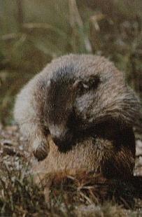 Marmotte des Alpes entrain de faire sa toilette