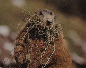Marmotte des Alpes de face, a de l'herbe dans sa mâchoire
