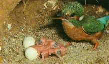 Martin pêcheur, oisillons, nid