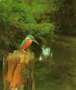 Martin-pêcheur sur tronc, attend proie