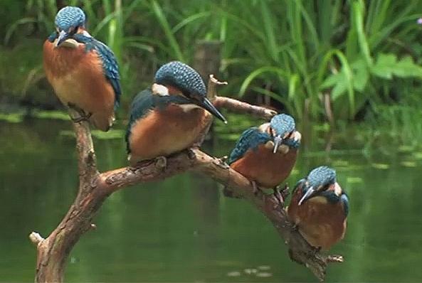 4 martins pêcheurs sur branche, au dessus de l'eau