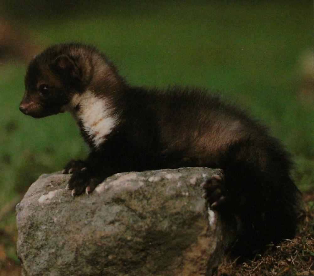 Jeune marte de quatre mois, allongé sur un rocher