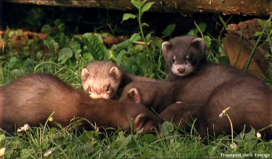 Martre femelle allongée avec ses deux petits dans l'herbe